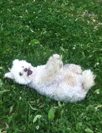 Picture of white poodle rolling on green grass in summer