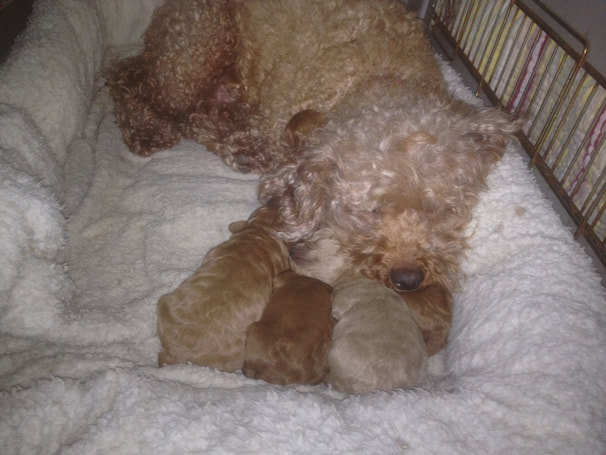 Picture of Tasha with her pups on comfy wool bedding