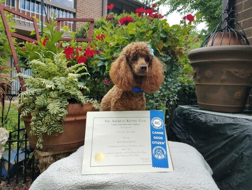 Picture of red poodle with certificate of good citizenship